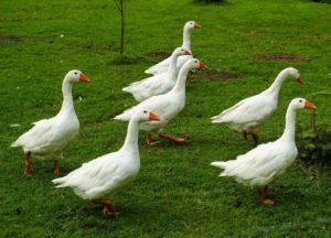 Frische Enten und Gänse aus Niederbayern